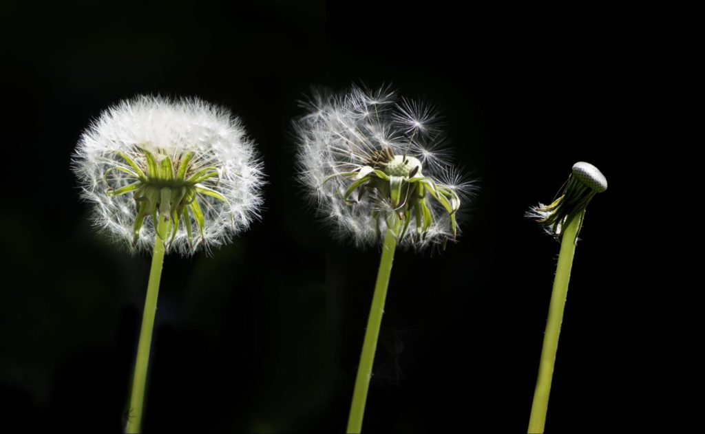 Three seeded dandelion heads with progressively less fluff (the first being a full head and the last with no remaining attached seeds). Dandelions are considered weeds and targeted for removal but are endlessly persistent and resilient as well as quite useful plants.